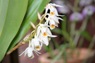 Bhutan Orchid