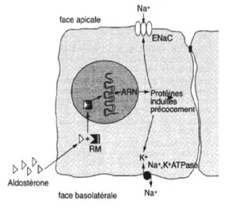 l'aldostérone