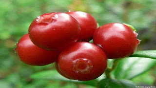 Lingonberry fruit images wallpaper