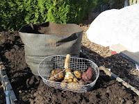 root crops