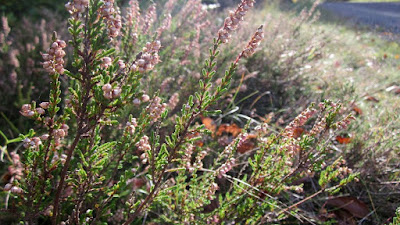 Heather (Calluna Vulgaris) Overview, Health Benefits, Side effects