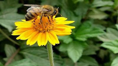 Οι μέλισσες εξαφανίζονται από ιό που εξαπλώνουν οι άνθρωποι
