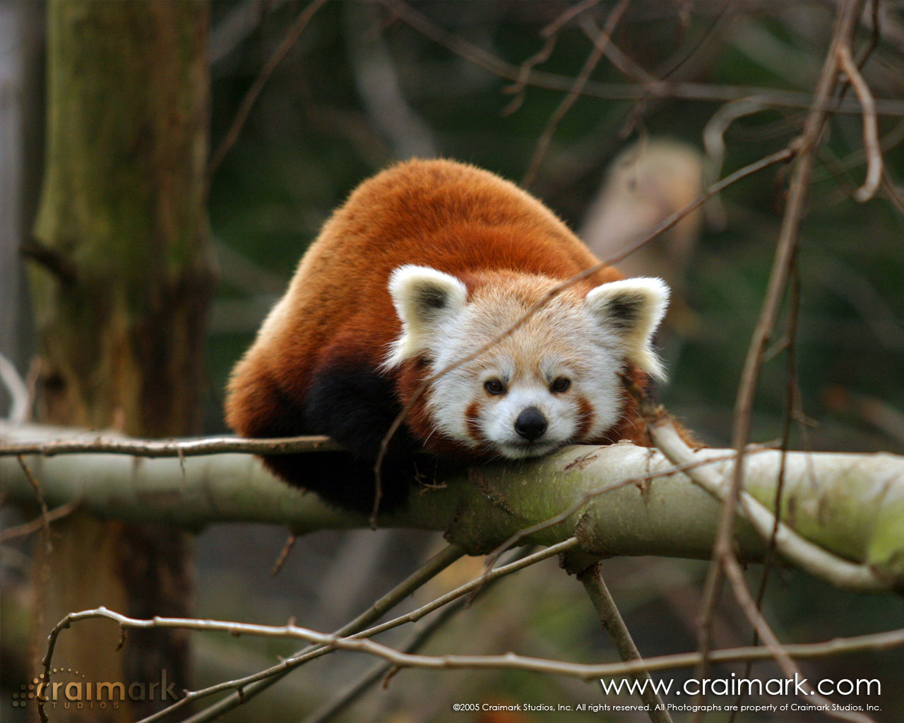 The Red Panda Cute Wildlife | The Wildlife