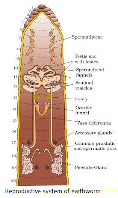 Reproductive system of earthworm