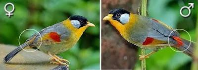 Cri-Ciri Umum Burung Panca Warna Dan cara Membedakan Burung Pancawarna-Membedakan Antara Burung Pancawarna Jantan Dengan Betina Ciri-ciri Pancawarna -Untuk membedakan antara jantan dan betina, ini cukup mudah, yang jantan memiliki 5 warna, sedangkan yang betina hanya didoninasu warna ciklat.  -Lain halnya dengan burung robin, dimana perbedaannya adalah dari warna paruhnya. Robin jantan memiliki warna paruh merah tajam seperti cabe yang matang, sedangkan yang betina warna orange atau seperti warna cabe yang hampir matang. -Kicau burung Pancawarna tidak terlalu kerap, sedangkan burung robin (jantan) pasti frekuensi kicaunya sangat kerap -Lian halnya jika robin betina, kicauannya tidak terlalu kerap. Jenis burung ini terbulang langka  Membedakan antara burung pancawarna jantan dengan betina memang lebih mudah diperhatikan dari warna bulu burung yang sudah berusia dewasa, dimana burung jantan memiliki warna yang berwarna, cerah dan mengkilap dengan warna bulu dipangkal ekornya berwarna merah sedangkan burung pancawarna betina memiliki warna yang kusam dan pucat dengan warna-warna yang kurang terang, lebih kuning dan warna bulu di pangkal ekor nya adalah berwarna orange.