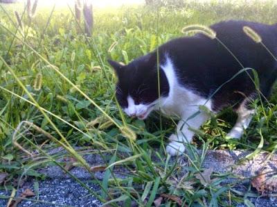 Risultati immagini per gatto che mangia l'erba gatta