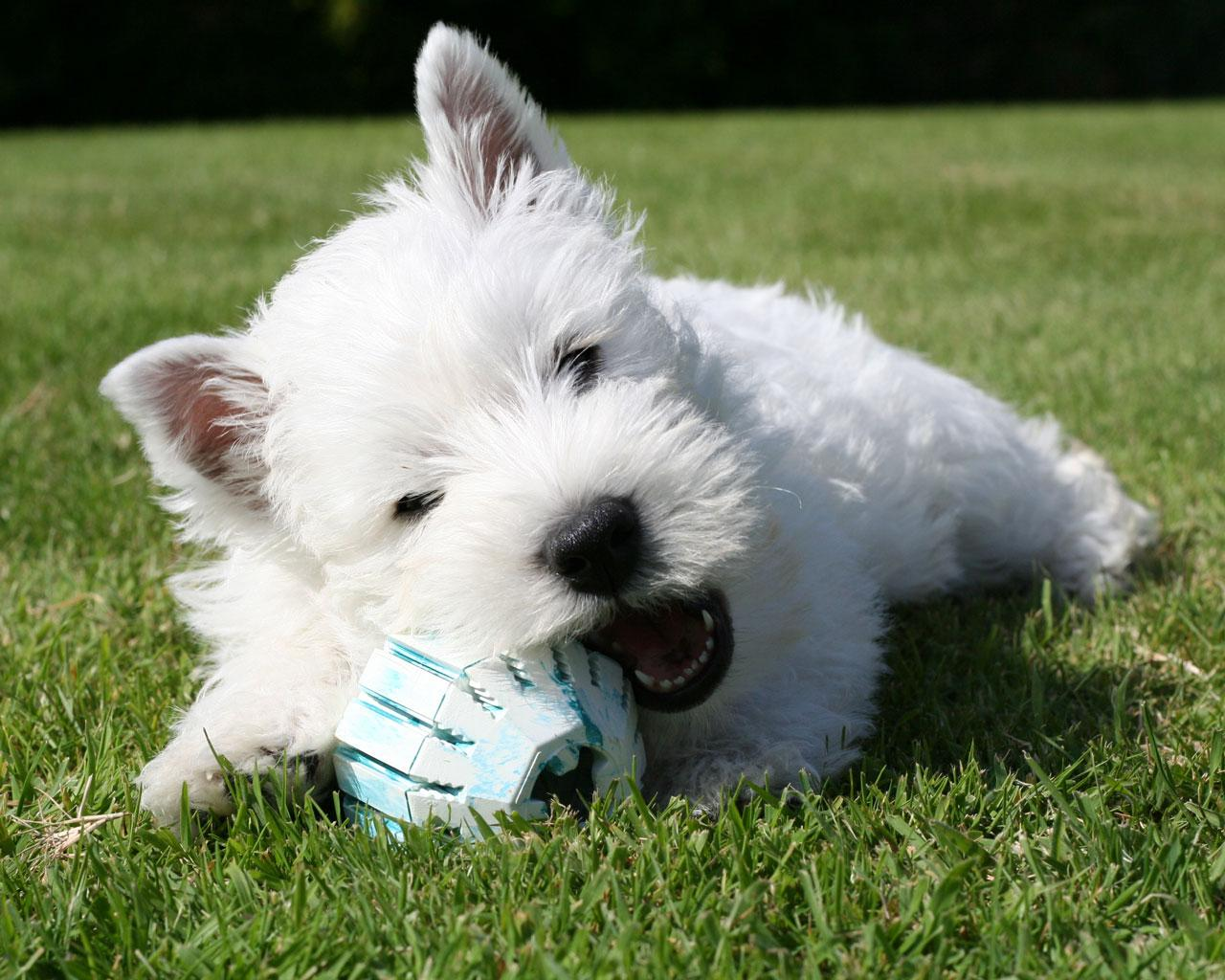 West Highland White Terriers , commonly known as the Westie, is one of ...
