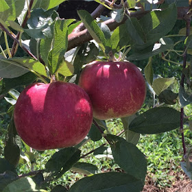 apple shed, skytop orchard