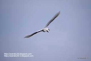 コサギの飛翔シーン写真