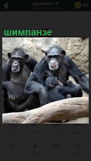 около стены сидит семья шимпанзе с детенышем