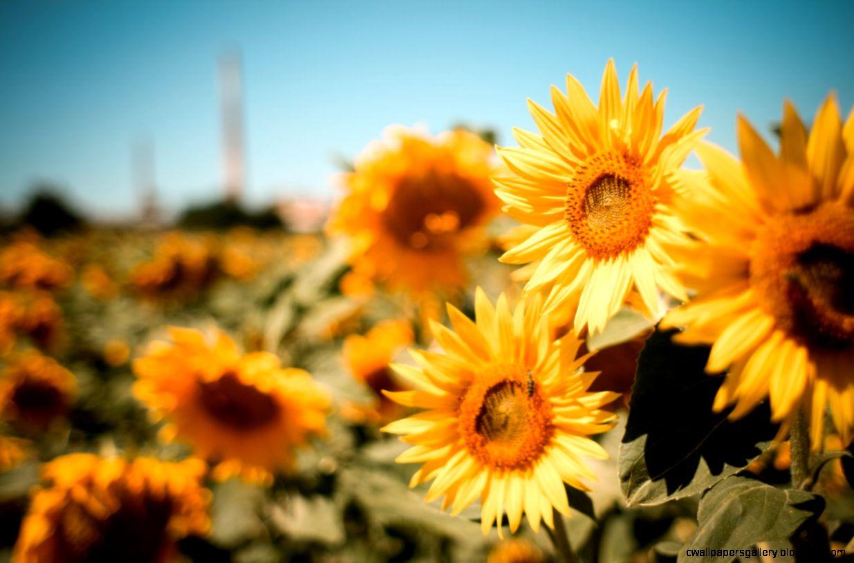 Vintage Sunflower 109