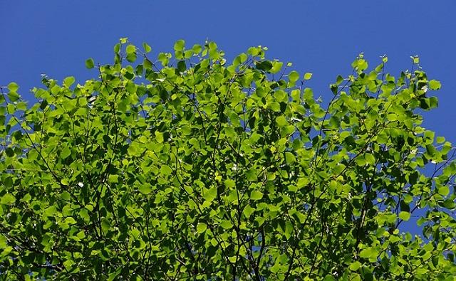 Abedul chino Betula albo-sinensis