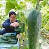加賀太きゅうり 普通の胡瓜の5倍の大きさ