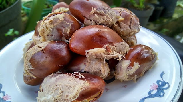 rebus biji durian