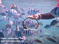 ikan abudefdof di karimunjawa