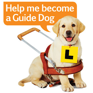 Guide Dogs Labrador Pup wearing L Plate