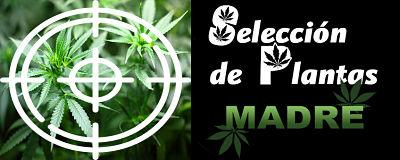 selección plantas madre marihuana