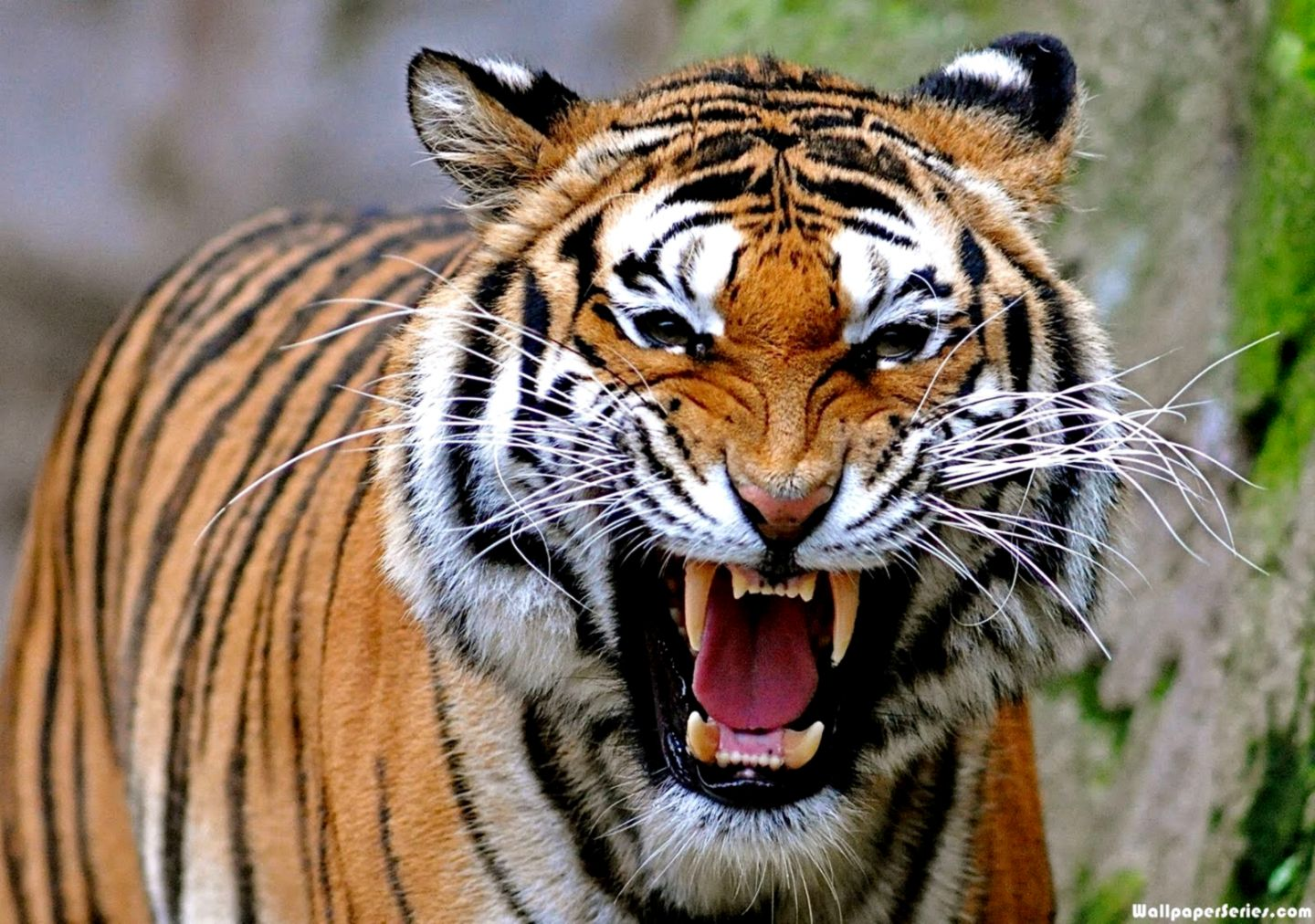 Angry Tiger Face Wallpaper One Wallpapers