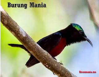Download Kumpulan Suara Kolibri Ninja Gacor Mp3