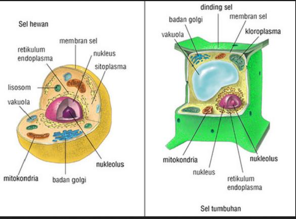 Pengertian Sel dan Bagian-Bagian Sel Dan fungsinya