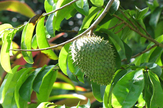 14 the secret of the Usefulness and benefits of Soursop Leaf
