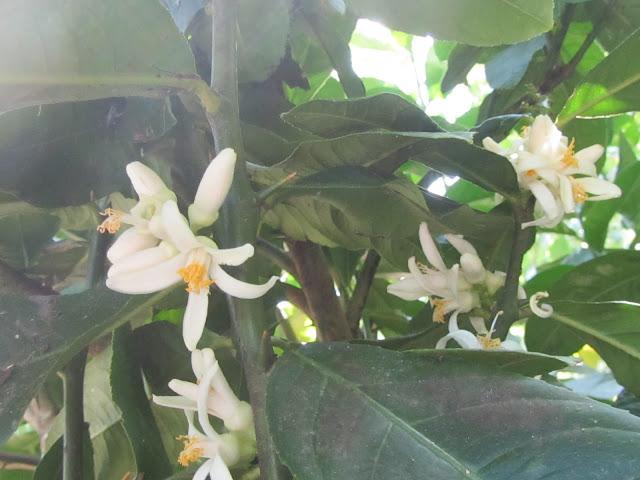 Citrus medica flowers