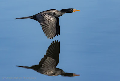 Cormorant in Flight - Woodbridge Island, Cape Town  : Processed in Lightroom Classic 7.3