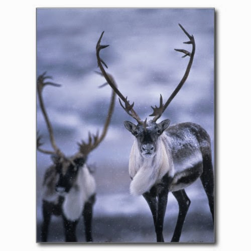 Caribou at the start of a Snowy Winter | Wildlife Photo Postcard