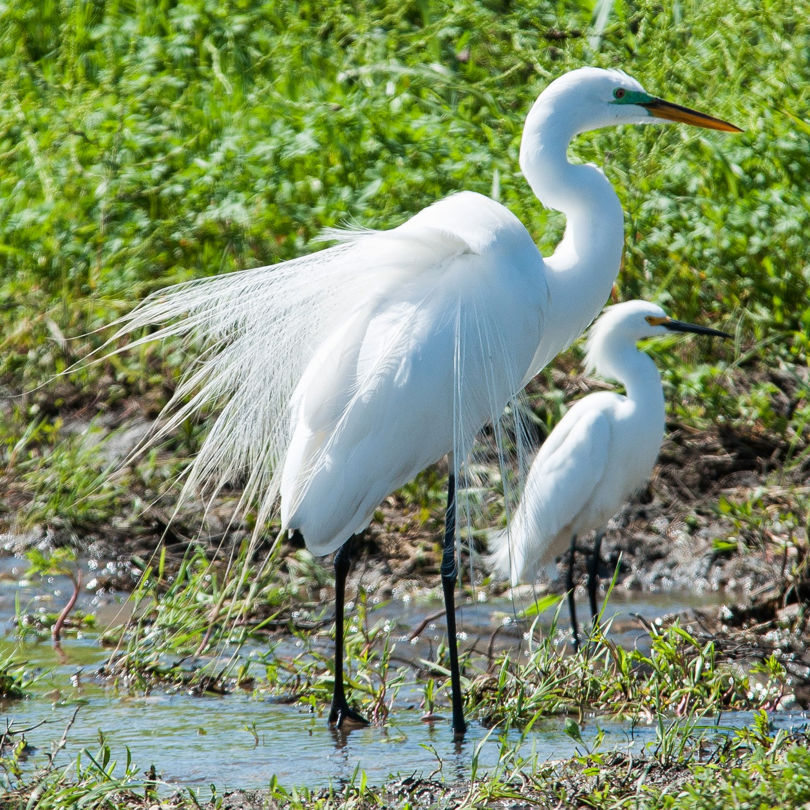 Great Egret, Snowy Egret, Hagerman Wildlife Refuge
