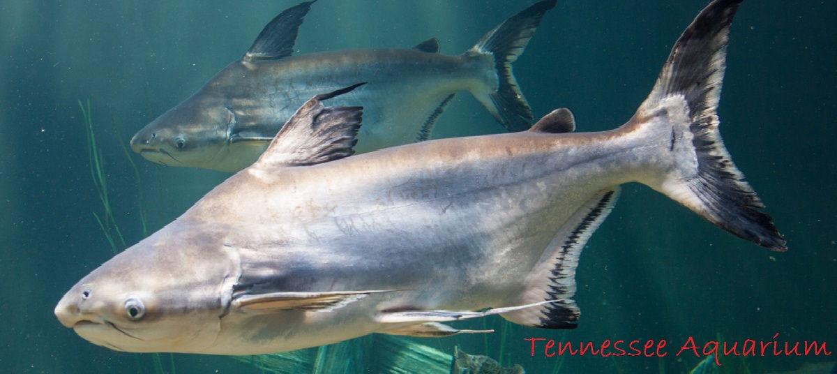 Gambar Pangasius Catfish Jenis Jenis Ikan Catfish Atau Lele Hias