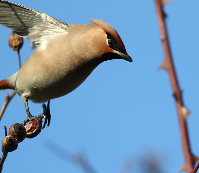 Birders in Boxers  Waxwing hunt