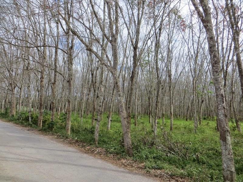 Латексные деревья