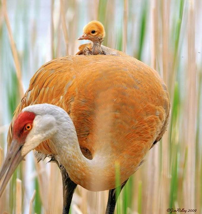 crane chick