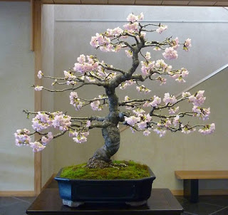cherry tree bonsai from seed, cherry blossom bonsai tree buy, cherry blossom bonsai tree kit, how to grow a cherry blossom bonsai tree, bonsai cherry tree with fruit, miniature cherry blossom trees for sale, sakura bonsai seeds, cherry blossom bonsai south africa