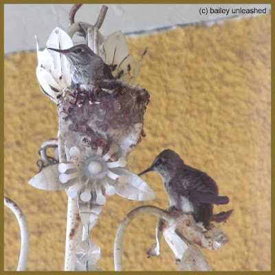 baby hummingbird getting ready to leave the nest | via baileyunleashed.com