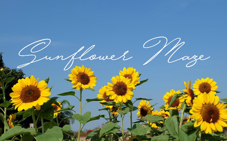 Sunflower Maze, Tayug, Pangasinan