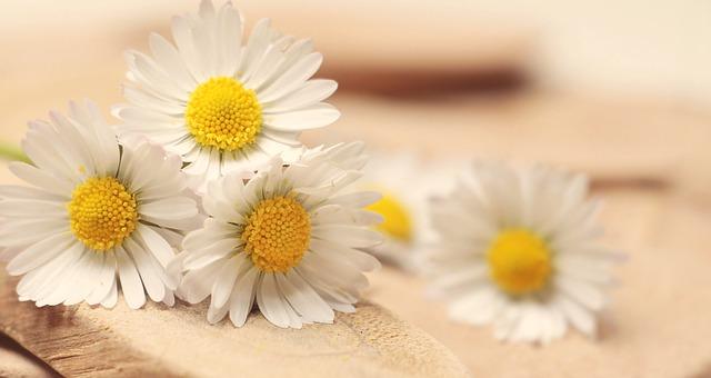 hình ảnh hoa cúc trắng 3