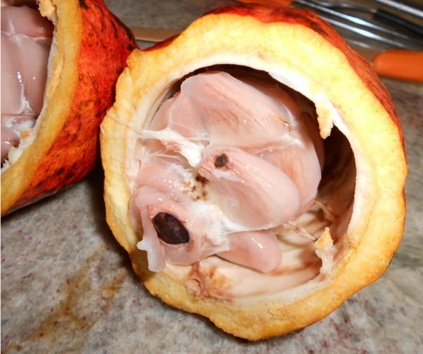 Como é a fruta do cacau