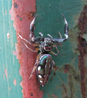 Costa Rica insect