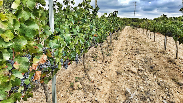 vins de foresta vinyes