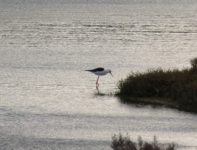Black-winged Stilt - Portugal