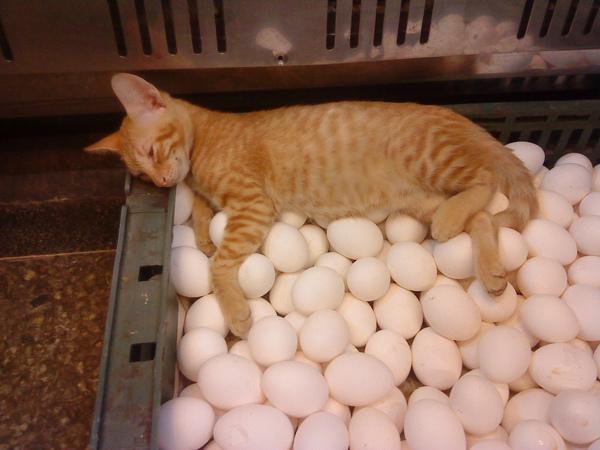 猫が卵を抱いている  貓咪孵蛋中....請勿打擾(´・ω・`)