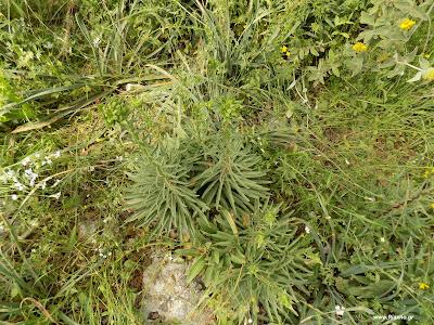 Μάιος-Κρίνος της Παναγίας: Βότανα και φαρμακευτικά φυτά της Ελλάδας