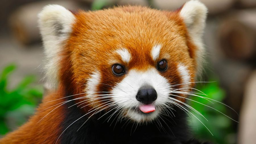 30. A little red panda by Harimao Lee