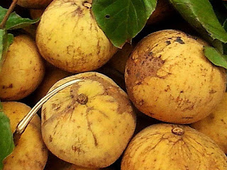 Santol Fruit Pictures