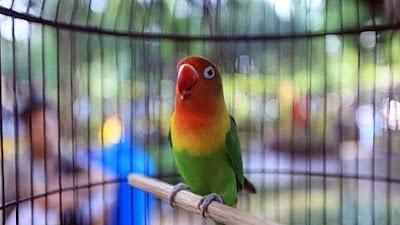 List Harga Terbaru Vitamin Burung Lovebird Lomba Saat Ini 2018 Paling Lengkap