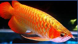 h salah satu primadona ikan hias air tawar  Kabar Terbaru- MENGENAL IKAN ARWANA GOLDEN RED