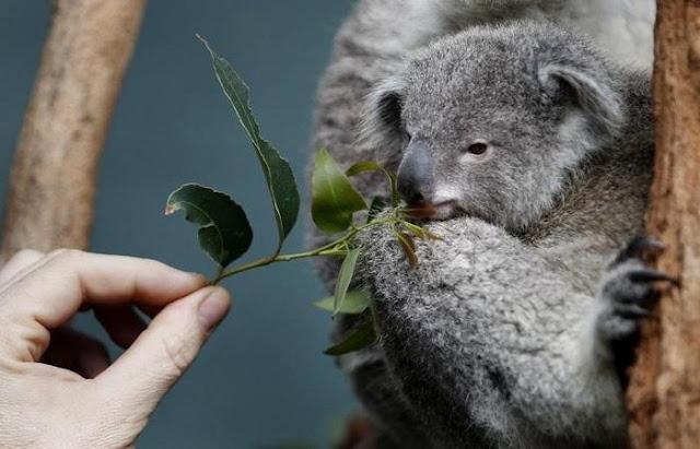 9 loài vật siêu dễ thương sắp bị xóa sổ vì biến đổi khí hậu