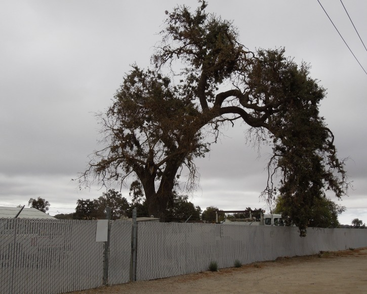 Where to See Photogenic Oak Trees in Paso Robles, California