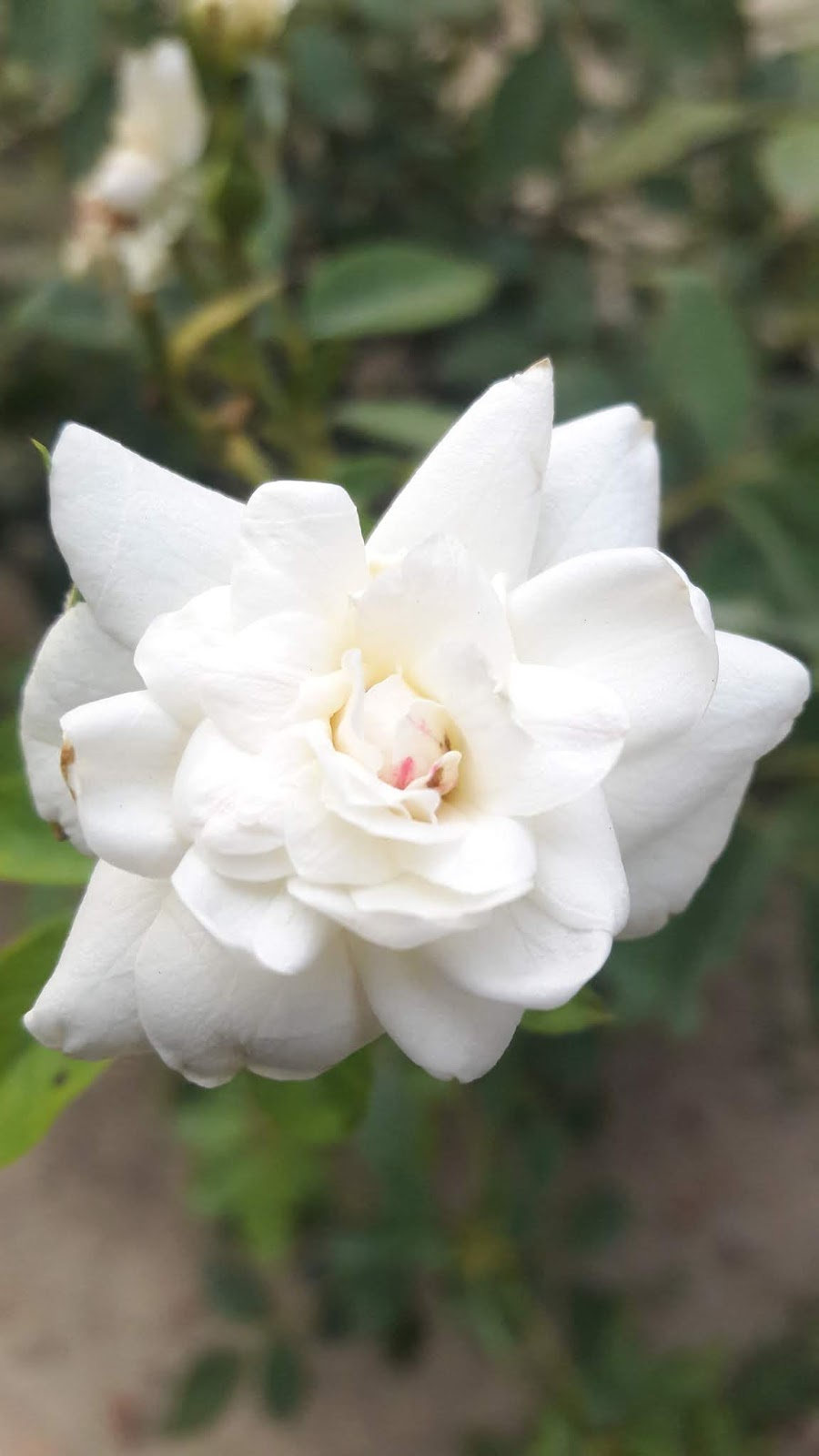 Nature Clicks Click By Niaxi Rose White Flower Carpet